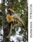 diademed sifaka   propithecus... | Shutterstock . vector #797812726