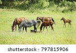 Herd Of Horses On Grazing....