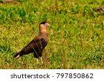 Hawk Perched On Grassland