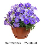 Petunia On White Background