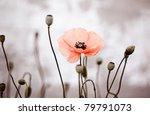 Field Of Red Corn Poppy Flower...