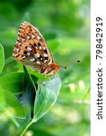 Small photo of Dark Green Fritillary butterfly - Argynnis aglaja