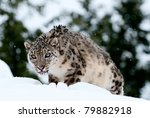 Snow Leopard Stalking In Fresh...