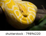 Close Up Of Golden Thai Python  ...