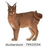 caracal  caracal caracal  6...   Shutterstock . vector #79925554