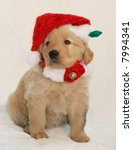 adorable golden retriever puppy with santa hat and festive collar - stock photo