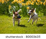 Stock photo two jack russell terriers playing fetch with a ball running towards camera on a lawn in spring 80003635