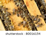 worker bees on honeycomb | Shutterstock . vector #80016154