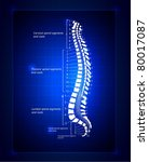 spine illustration. spinal...   Shutterstock .eps vector #80017087