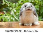 Cute Holland Lop Rabbit...