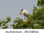 A Wood Stork Collects Branches...