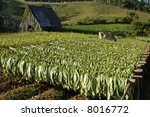 Tobacco field in Cuba - stock photo