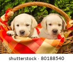 Stock photo cute labrador retriever puppies in a picnic basket shallow dof 80188540