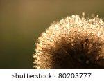 Dandelion In Dew Drops On...