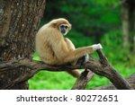 gibbon   Shutterstock . vector #80272651