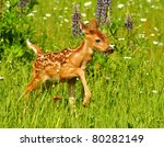White Tailed Deer Fawn In Fiel...
