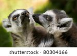 Portrait Of Two Ring Tailed...
