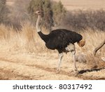 Female Ostrich Walking In Brow...