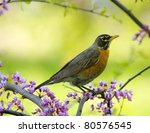 American Robin Sitting On A...