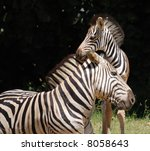 baby zebra with father | Shutterstock . vector #8058643
