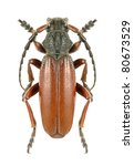 Small photo of Longhorn beetle Dorcadion (Carinatodorcadion) fulvum canaliculatum on a white background