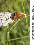 Small photo of a large skipper butterfly echlodes venatus on a sneezewort flower achillea ptarmica
