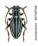 Small photo of Longhorn beetle Dorcadion (Pedestredorcadion) granigerum on a white background