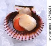 Small photo of Raw queen scallop (lat. Aequipecten opercularis) on ice (Selective Focus, Focus the front of the scallop's meat)