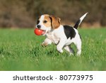 Stock photo cute beagle puppy months running happy over the meadow with a red ball 80773975