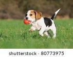 Cute Beagle Puppy 3 Months...