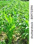 corn field | Shutterstock . vector #80973394