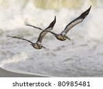 Two Brown Pelicans Fly In...