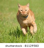 Stock photo orange tabby cat running fast towards the viewer in green grass 81129583