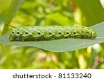 Tomato Hornworm Catarpillar On...
