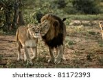Постер, плакат: Lion and Lioness at