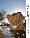 lions in south africa | Shutterstock . vector #81211159