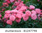 Stock photo rose 81247798