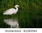 Snowy Egret In Florida Wetland...