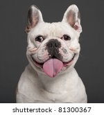 Stock photo close up of french bulldog years old in front of grey background 81300367
