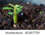 Young Adenium Obesum Is Growin...