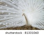 Male White Peacocks Are Spread...