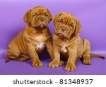 Two puppies of breed a mastiff from Bordeaux on a purple background. - stock photo