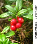 Ripe  Red Lingonberry On A...
