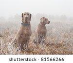 Two Weimaraner Dogs In Heavy...