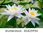 Water Lilies Among The Leaves...