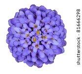 Deep Blue Iberis Flower Isolated on White - stock photo