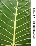 Small photo of Vertical close-up of Alocasia alba brisbanensis leaf