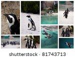 collage of african penguin | Shutterstock . vector #81743713