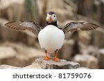 Puffin with wings outstretched - stock photo