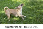 a chihuahua playing happily on... | Shutterstock . vector #81811891